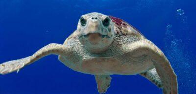 La tortuga babaua és la protagonista de la nova exposició de Cal Bofill